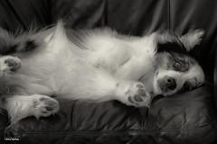 Summer Time Blues (Jasper's Human) Tags: aussie australianshepherd dog bored couch