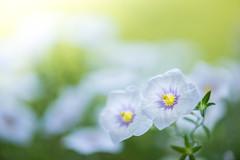 nierembergia 2710 (junjiaoyama) Tags: japan flower nierembergia plant white summer bokeh macro