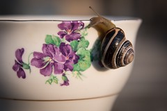 Tea for Two ... (vanessa violet) Tags: colourfusion purplepassion purple colclough violets company snail nature outdoors teacup tea teafortwo nan greatgrandmother china