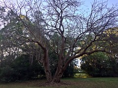 IMG_4884 (dudegeoff) Tags: 20180623bsydednahuntsanctuary ednahuntsanctuary eastwood nsw newsouthwales australia 2018 june winter bikerides trees 20180623csydednahuntsanctuary