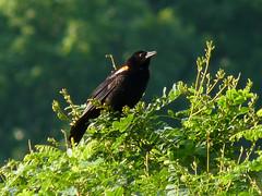 Red-winged Blackbird (Dendroica cerulea) Tags: redwingedblackbird agelaiusphoeniceus agelaius icteridae passeroidea passerida passeri passeriformes psittacopasserae eufalconimorphae aves bird blackbird summer donaldsonpark highlandpark middlesexcounty nj newjersey