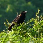 Red-winged Blackbird thumbnail