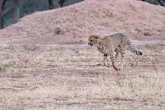_DSC4664 (Ivan Lau) Tags: namibia cheetahconservationfund