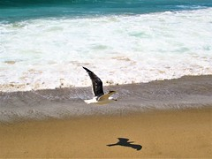 Shadow (thomasgorman1) Tags: canon gull zuma malibu birds wildlife shore tide sea ocean nature