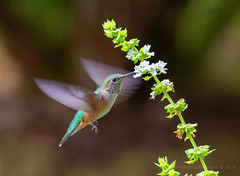 male broadtailed hummingbird (scepdoll) Tags: hummingbirds bird basil jackson wyoming summer