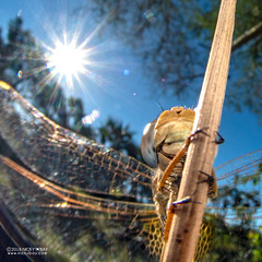 Dragonfly - DSC_2933b (nickybay) Tags: bugshot mozambique gorongosa macro africa cctv wideangle dragonfly anisoptera