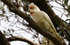Long Billed Corella - Kings Park Perth (6) (ailognom2005) Tags: longbilledcorella kingspark perth birds westernaustralia australia wildbirds