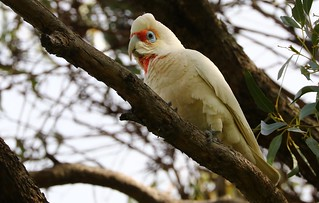 Long Billed Corella - Kings Park Perth (6)
