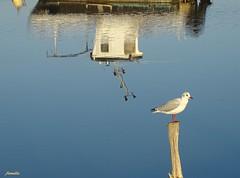 La gardienne du port (Armelle85) Tags: extérieur nature eau port reflet bateau animal oiseau mouette mer océan