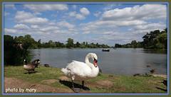Hever Castle Gardens (maryimackins) Tags: swan lake hever wildlife mary mackins