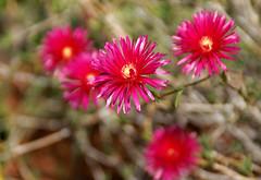 Genova-Pegli, Villa Durazzo Pallavicini, Garten der Flora, Mittagsblumen - Flora's garden, iceplant - giardino di Flora