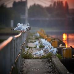 DSC06389_1_Small (jsaudoyer) Tags: belgium belgïe belgique mons obourg bergen symétrie birds oiseaux mouettes canal