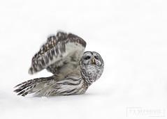 Barred Owl (T L Sepkovic) Tags: barredowl owl birdsofprey raptor snow winter canon wildlifephotography