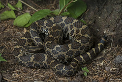 Eastern Massasauga Rattlesnake (Nick Scobel) Tags: eastern massasauga rattlesnake sistrurus catenatus michigan rattler venomous snake pit viper rattle coiled defensive cryptic pattern scales texture camouflage golden