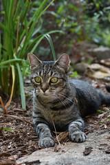 green-eyed girl (Camille) (rootcrop54) Tags: camille female mackerel tabby green eyes alert neko macska kedi 猫 kočka kissa γάτα köttur kucing gatto 고양이 kaķis katė katt katze katzen kot кошка mačka gatos maček kitteh chat ネコ