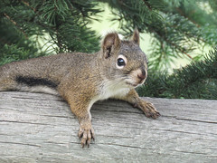 Jackie's squirrel - Red or Eastern Gray? (annkelliott) Tags: alberta canada swofcalgary turnervalley garden nature wildlife animal wild wildanimal squirrel sciuridaefamily rodent lying stretchedout fence wooden tree outdoor summer 16august2018 canon sx60 canonsx60 annkelliott anneelliott ©anneelliott2018 ©allrightsreserved
