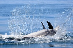 Dolphin 'back flop'.... (karen leah) Tags: dolphin bottlenose mammal marine action sea water animal wildlife outdoors nature cardiganbay ceredigion august summer entertaining blue