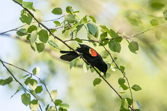 black and red in spring green (long.fanger) Tags: male redwingedblackbird
