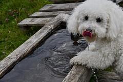 Naïs, 1 an aujourd'hui ! Ca s'arrose ! (Annelise LE BIAN) Tags: chien naïs alittlebeauty sunshine coth coth5 bichonfrisé