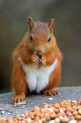 Red Squirrel (eric robb niven) Tags: ericrobbniven scotland redsquirrel wildlife nature springwatch