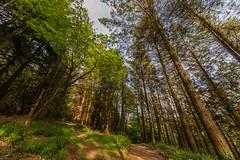 Hatch Wood (trevorhicks) Tags: gunnislake england unitedkingdom gb hatch wood forest trees cornwall sky sigma canon 5d mark iv path grass clouds outdoor