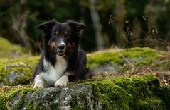 Yatzy (Flemming Andersen) Tags: stone pet nature dog bordercollie yatzy outdoor hund animal roc la tour roclatour thilay grandest france fr