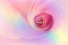 Rose for Shabat (Hana's images) Tags: rose beauty pastel flower texture