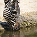 Zebra drinking some water
