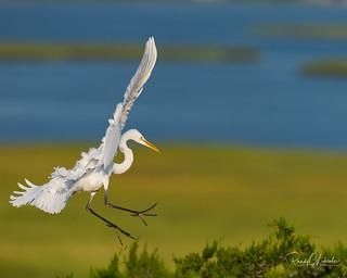 Great Egret - Ardea alba   2018 - 4