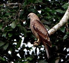 DSC01318 Brahminy Kite-Juvenile (Haliastur indus) (vlupadya) Tags: greatnature fauna aves indianbirds brahminy kite juvenile halistur kundapura karnataka