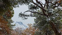 St Victoire, Pins et Chênes (ValBlanc) Tags: snow mountain winter france victoire st oak pine mediterranian