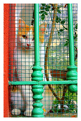 Don't fence me in! (The Stig 2009 (On Holiday)) Tags: thestig2009 thestig stig2009 2009 tony o tonyo cat ginger white fence pet capri italy creature animal cute 2018