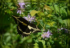 [^] Giant Swallowtail Butterfly - II. [^] (Wolverine09J ~ 1.5 Million Views) Tags: butterfliesandblossomsaug18 giantswallowtail insect prairiefauna summertime wildbergamot takingnectar nature minnesota greenfoliage naturesgallery