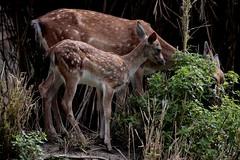 Sempre con mamma  :)) (carlo612001) Tags: puppy cub pup whelp deer fallow fallowdeer little littleone daino cucciolo animali natura oasidisantalessio