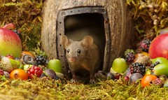 wild house mouse in log pile  with fruits and berry's (10) (Simon Dell Photography) Tags: wild george log pile house mouse nature garden animal rodent cute fun funny summer fruits berries berrys display lots bounty moss covered simon dell photography sheffield 2018 aug cool awesome countryfile ears close up high detail cards design