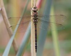 Migrant Hawker - Aeshna mixta (Visual Stripes) Tags: dragonfly odonata aeshnidae insect invertebrate nature libel bokeh canoneos7d sigma150mm macro sigma14teleconverter