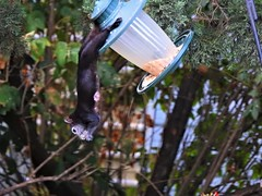 The Gymnastics (Anton Shomali - Thank you for over 1 million views) Tags: blacksquirrel smallanimal backyard birdsfood food hungry animal the gymnastics thegymnastics squirrel bird feeder birdfeeder nature yard black seeds