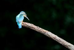 martin pêcheur d'Europe ( Alcedo atthis ) Brech 180821s2 (papé alain) Tags: oiseaux passereaux alcédinidés martinpêcheurdeurope alcedoatthis commonkingfisher brech morbihan bretagne france