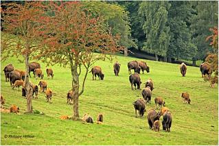 Rçeve de Bisons  ©  Muchedent