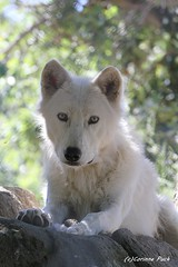 Loup du Canada (Passion Animaux & Photos) Tags: loup canada canadian wold canis lupus occidentalis parc animalier auvergne france