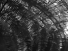 A roof of fern (absoluteforecast) Tags: fern roof tokyo yumenoshima tropical greenhouse dome black white s its bit confusing look but i liked patterns o