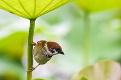 Eurasian Tree Sparrow under Lotus leaf (雀舞荷扇) (Minder Cheng) Tags: plant eurasiantreesparrow lotus taipeibotanicalgarden taipei taipeicity taiwan tw