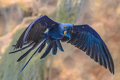hyacinth macaw in flight (Paul Wrights Reserved) Tags: parrot parrots macaw macaws parrotinflight macawinflight bird birding birdphotography birds birdinflight birdofparadise flying fly flight flyingbird flapping