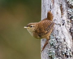 Wren (Juvenile) - Taken at Sywell Country Park, Sywell, Northants. UK. (Ian J Hicks) Tags: