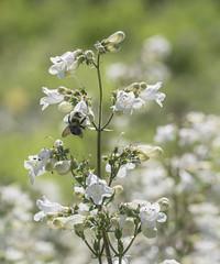 just beeee cause (Deb Felmey) Tags: delaware delawarebotanicgardens gardens flowers southerndelaware flower nature meadow