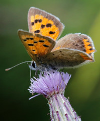 Small Copper (PJ Swan) Tags: small copper butterfly nectar insect summer orange feeding