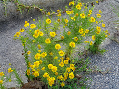 Yellow Flowers In The Pavement. (dccradio) Tags: lumberton nc northcarolina robesoncounty august sunday summer summertime afternoon asteraceae flower floral flowers yellowflower greenery plant weed weeds brightlycolored pavement street curb paved sony cybershot dscw830 outdoor outdoors outside nature natural