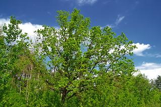 Dome of oak