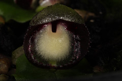 Corybas incurvus (syn Corysanthes incurva) 2018-08-03 03 (JVinOZ) Tags: orchid orchidspecies australiannativeorchid australianterrestrialorchid corybas corysanthes