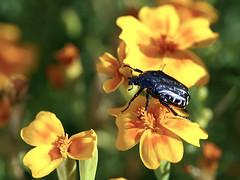 Schönen Freitag! (ingrid eulenfan) Tags: natur nature blumen flowers tagetes käfer beetle sonya77ii